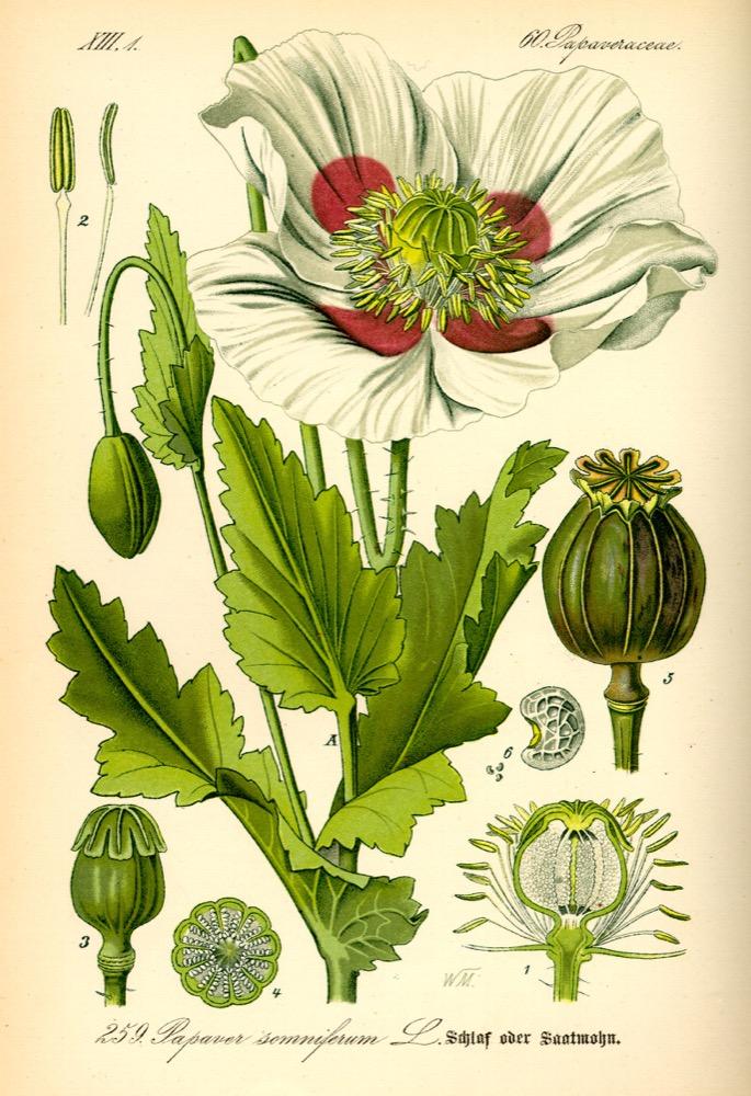 opium poppy plant