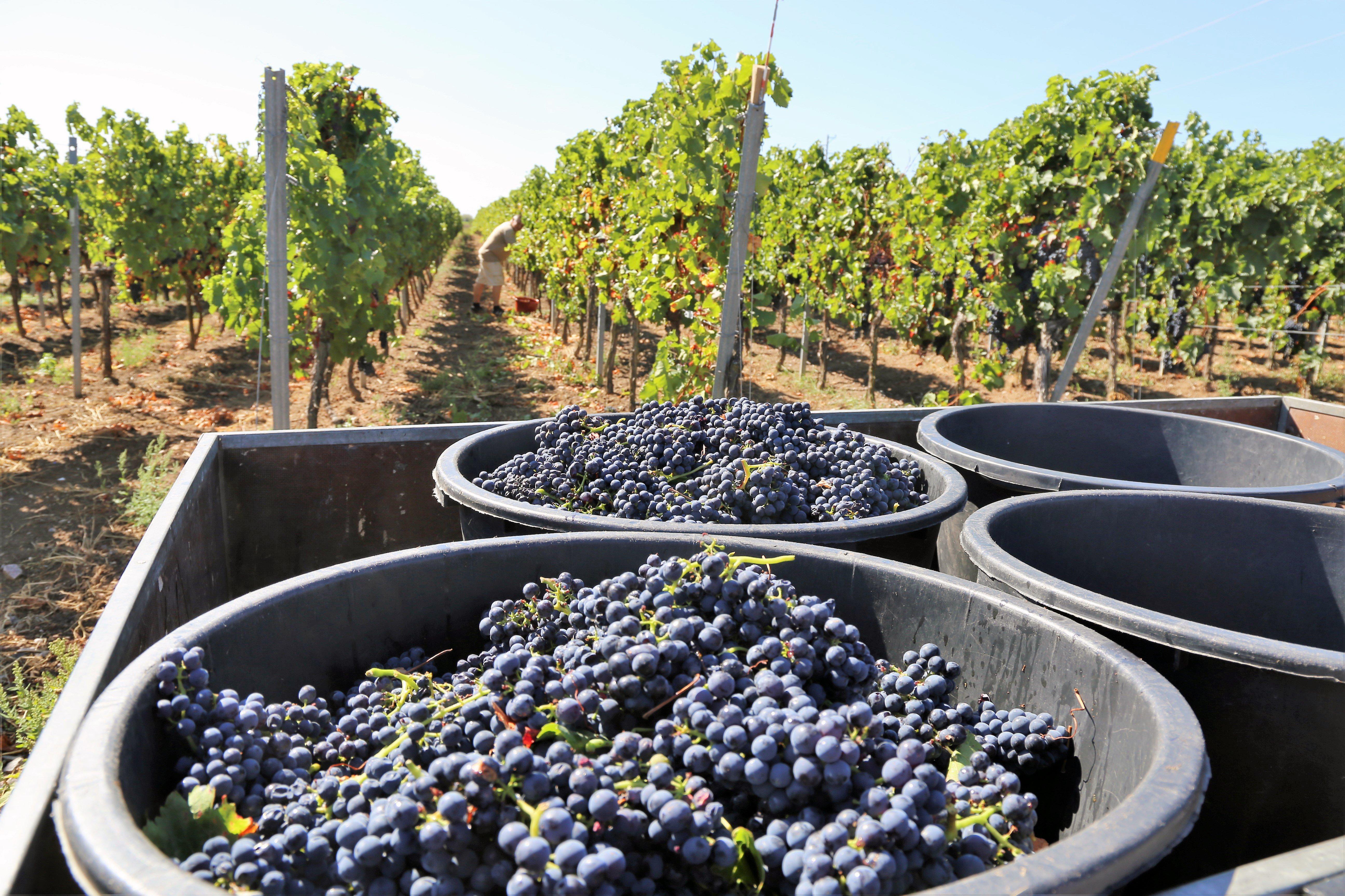 grapes preparing for transport